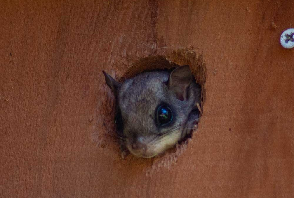 Weston CT Flying Squirrel Removal