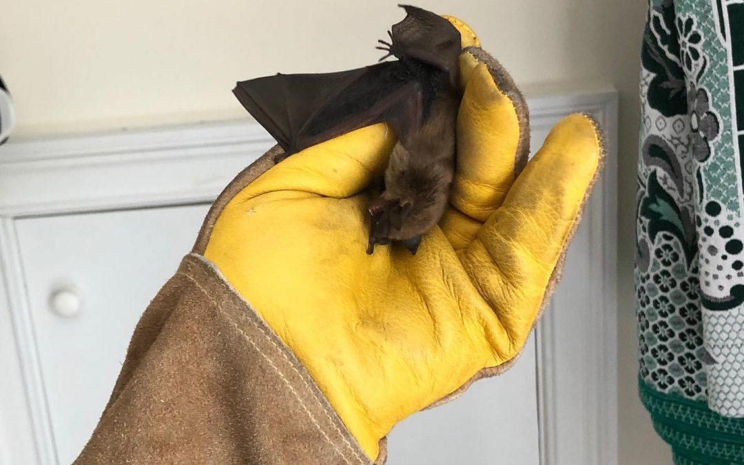 Bat Removal Westport