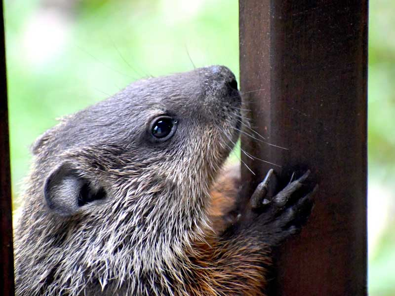 Westport Wildlife Control Experts groundhog trappers are here to help 24/7/365.