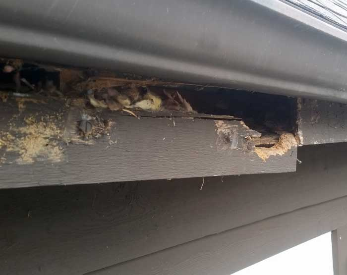 This fascia was torn open by squirrels that made their way into the attic.
