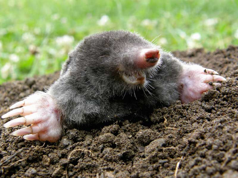 Our Westport Wildlife Control Experts says no to moles digging up your beautiful lawns.