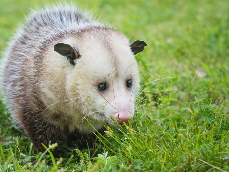 Our Westport Wildlife Control Experts opossum knowledge exceeds all industry standards.