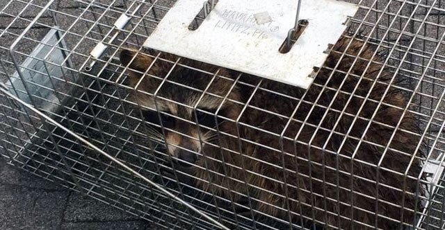 This raccoon was captured in a live trap. He can now be easily transported and relocated.