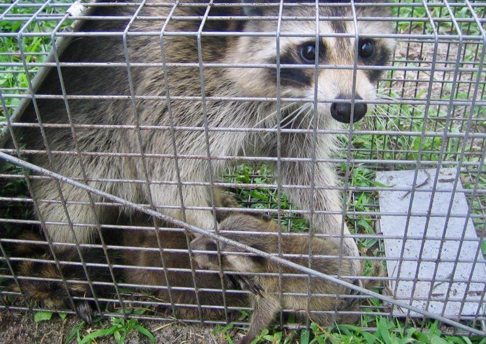 Raccoon Removal Westport