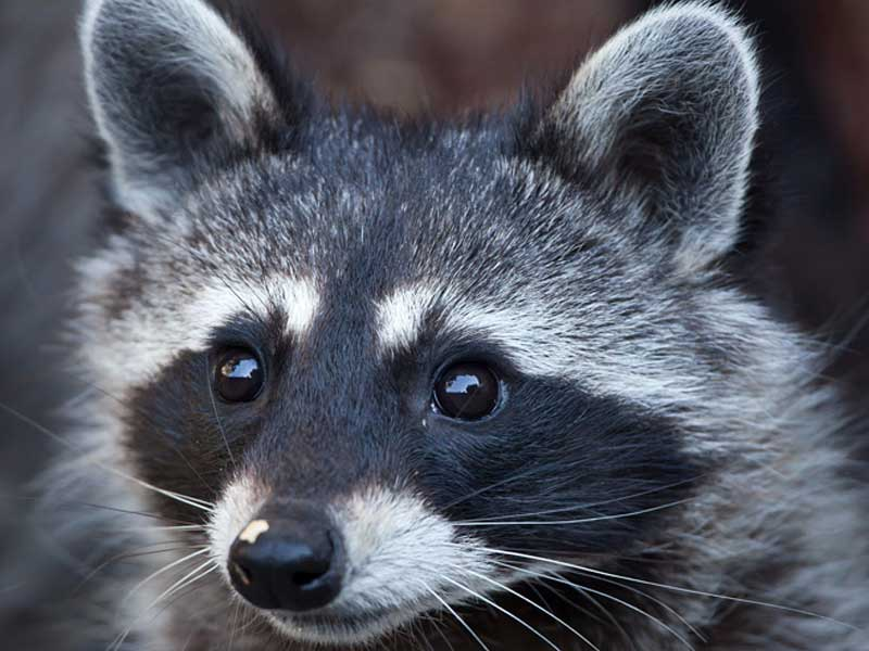 Westport Wildlife Control Experts raccoon  wranglers are here to help 24/7/365.