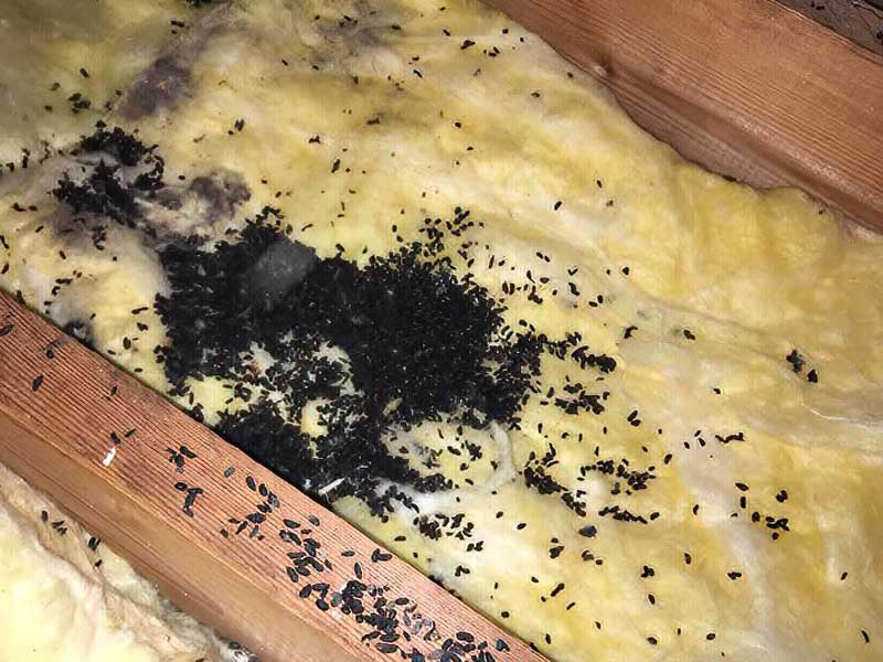 Bats R Us CT attic cleanouts remediation and removal of  Destroyed & Contaminated Insulation.