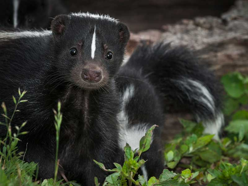 Let our Westport Wildlife Control Experts rid you of nuisance skunks