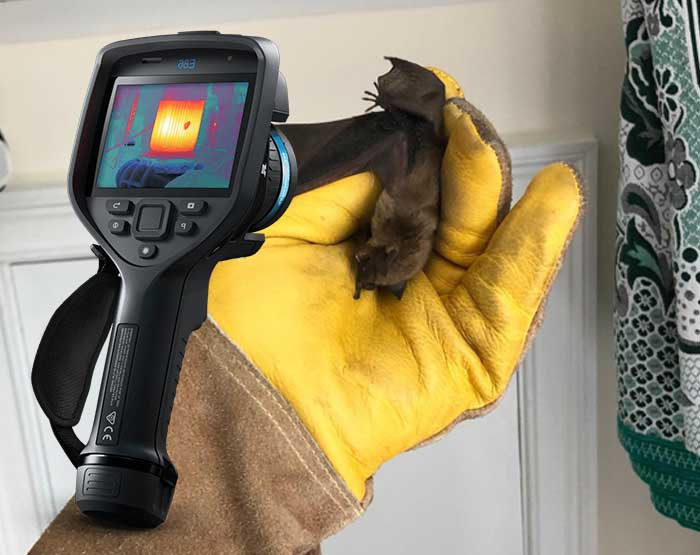 Bats R Us tech showing a Thermal Image Inspection camera and a man holding a bat caught in a Connecticut home.