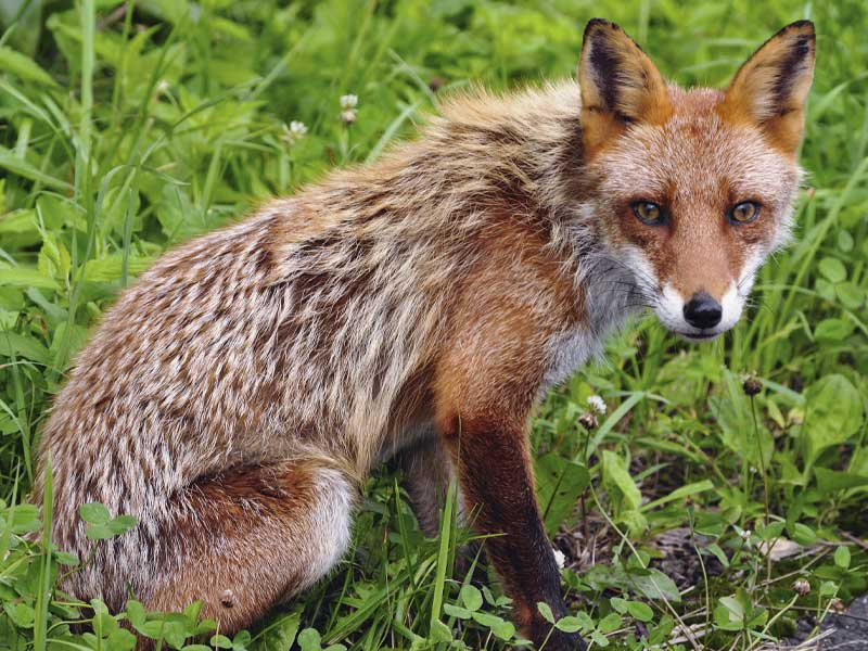 Foxes aren't threatening to humans, except when they have rabies, which is rare. However, foxes can get rabies, but it seldom has, if ever been transmitted to a human in the US.